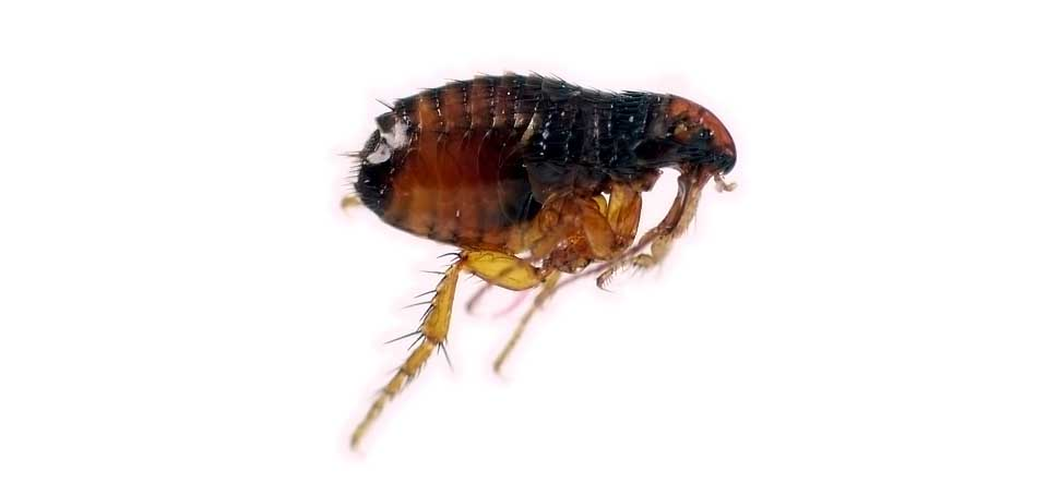 960w 455h_photo fleas3