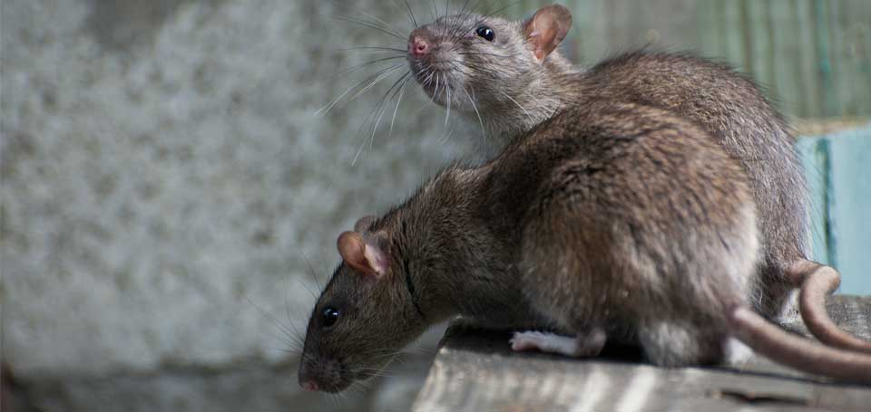 960w 455h_photo rodents1