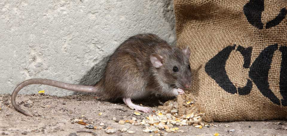 960w 455h_photo rodents3