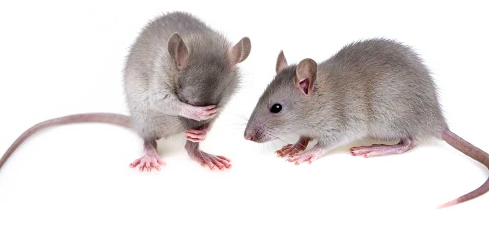 960w 455h_photo rodents4