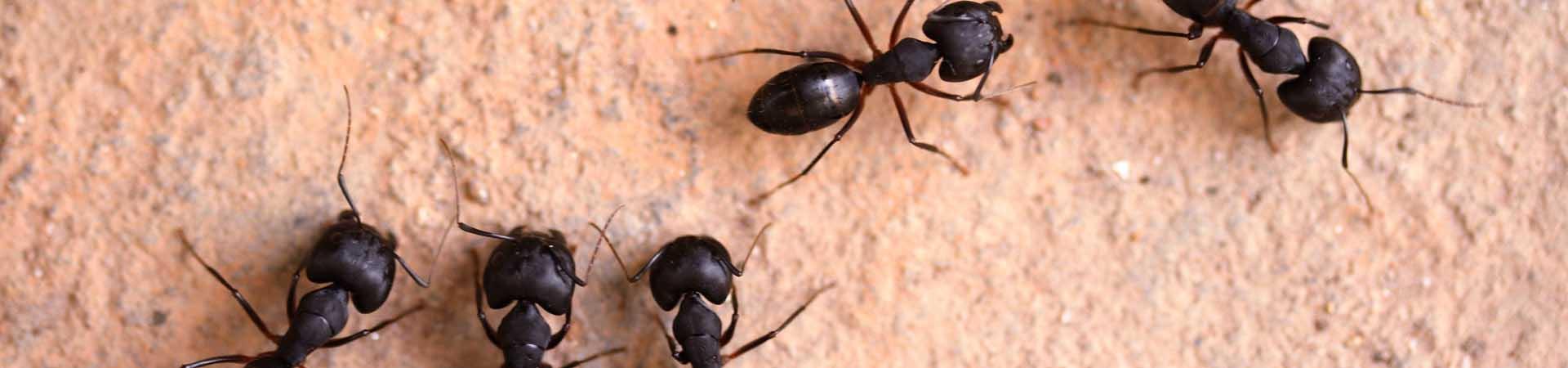 mainslide_ants_3